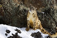 Snow Leopard Panthera uncia, in Montana, controlled conditions.