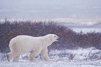 Polar Bear, Ursus maritimus, walking on the tundra near the shores of Hudson Bay, Churchill, Manitoba, Canada.