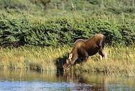 Moose drinking from pond, Gros Morne National Park, Newfoundland, Newfoundland and Labrador, Canada.