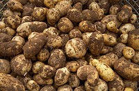 Potatoes fresh from the ground