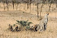 Cheetah Acinonyx jubatus mother with cubs in open expanse of Masai Mara Game Reserve, Kenya, East Africa. The cubs are 4 to 6 weeks old. Research show...