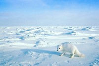 Arctic fox Alopex lagopus searching for prey or carrion on the sea ice, Arctic Canada