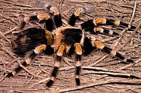 The Mexican red_legged tarantula, Brachypelma smithi, is an endangered species. Habitat alteration and over_collection by the pet trade has pushed wil...