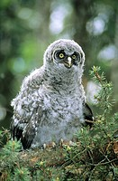 Branchling great gray owl Strix nebulosa, northern Alberta, Canada