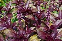 Purple basil Ocimum basilicum var. purpureum is an herb with a strong, aromatic scent and is also very decorative with its purple leaves and pale pink...