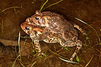 Two American Toads Bufo americanus mating. The smaller male is on top of the larger female. The toads will stay coupled together until the female lays...