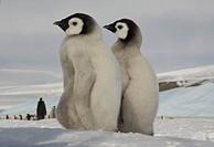 Emperor penguin chicks, Aptenodytes fosteri.