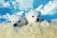 Three_month old polar bear cubs Ursus maritimus, Arctic Canada.