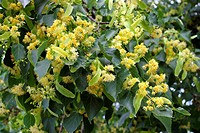 Small_leaved linden flowers of Tilia cordata. The small_leaved lime or small_leaved linden is a tree 20_35 m tall with a trunk up to 1.5 m diameter na...