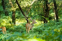 Chital deer Axis axis, also known as the axis deer or spotted deer, in the Ranthambore National Park, Rajasthan, India.