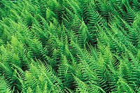 Ferns, Hayscented Fern, Dennstaedtia punctilobula, Grand Manan Island, New Brunswick, Canada