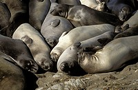 USA, California, San Simeon, elephant seals on beach