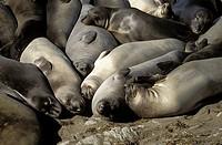 USA, California, San Simeon, elephant seals on beach