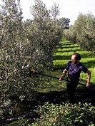 A man havesting olives with a battery_powered agitator and net near Panicale, Umbria, Italy.