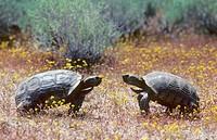Adult male desert tortoises Gopherus agassizii in aggressive display, Mojave Desert, southern California, USA