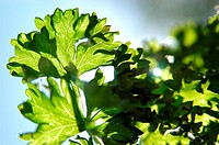curly_leaved parsley in sun