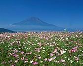 Cosmos Mt. Fuji Oshino Yamanashi Japan