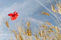 Wheat and Poppy (Papaver rhoeas), Plateau de Valensole, Valensole, Provence, France