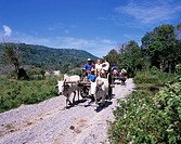 Water buffalo Cow carriage Safari tour Phuket Thailand Cow animal Mammals trees plant mountain February