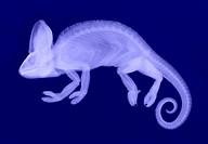 An x_ray of a veiled chameleon Chamaeleo calyptratus.