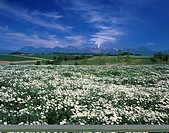 Chamomile White flower Tokachi mountains mountain Biei Hokkaido Japan