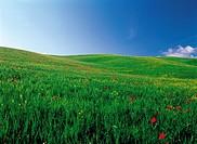 Rape flowers And Poppy flowers,Tuscany,Italy