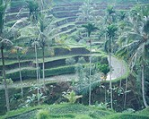 Rice terrace Tegalalang Bali Island Indonesia Rice Terrace Agriculture Industry