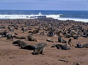 Fur seal habitat Cape crossing Namibia
