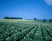 Flower Potato Field Hill in Biei Biei Hokkaido Japan Blue sky Tree Green Flower Plant