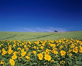 hill of a sunflower Biei Hokkaido Japan Sky Clouds House Prairie Sunflower Hill Flower Yellow
