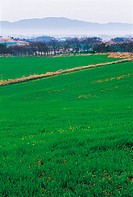 Field Of Barley,Jeonbuk,Korea