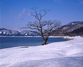 Tazawa Lake, Big tree, Tazawako, Akita, Japan