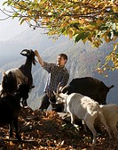 Man feeding goats on Alpine pasture Maggia Valley, Switzerland