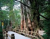 Kigen cedar, Yaku Islands, Kagoshima, Japan