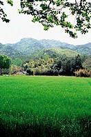 Barley Field,Jeonnam,Korea