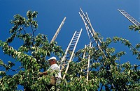 Cherry_picking in Steinerberg, Schwyz, Switzerland