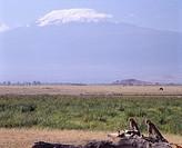 Cheetah, Kilimanjaro, Amboseli National Park, Kenya