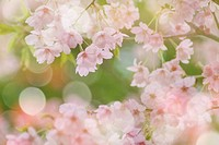Cherry blossoms, close up, defocused, differential focus