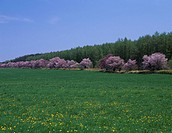 Blue sky Clouds Spring Lawn Dandelion Yellow Pink Cherry Blossoms roadside trees Abashiri Hokkaido Japan