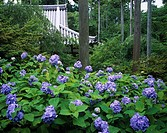 Ohara Sanzenin Hydrangea garden Kyoto Japan Forest Tree Precincts of a temple Flower Plant Leaf Purple