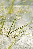 Beach grass in sand on Bald Head Island, North Carolina