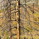 New growth in forest that was previously destroyed by fire.