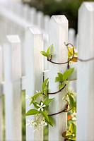 Vine growing on white picket fence