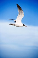 Black_headed gull in flight