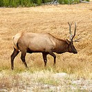 Male elk walking through grass at Yellowstone National Park, Wyoming