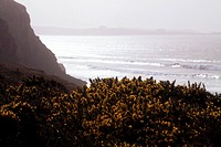 Shoreline vistas with waves and mist , gorse bushes in foreground Devon near Newquay England UK