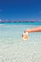 Close_Up of Conch, Maldives
