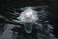 Beluga Whale or White Whale (Delphinapterus leucas) Order: Cetacea. Family: Monodontidae. Vancouver aquarium. British Columbia, Canada