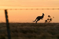 Kangaroo Hopping Along the Horizon at Dusk