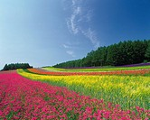 a Huge, Multicolored Flower Field, Under a Blue Sky, Hokkaido Prefecture, Japan
